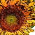 Dramatic Sunflower by Kristin Elmquist