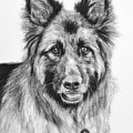 Drawing Of A Long-haired German Shepherd by Kate Sumners