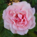 Dream Rose by Carol Groenen