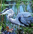 Dreamland Great Blue Heron by Cindy Rose