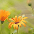 Dreams Of Orange Symphony In Spring  by Dorothy Lee
