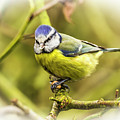 Dreamy Blue Tit Chirping by Nigel Dudson