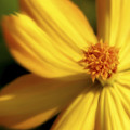 Dreamy Coreopsis by Jeannie Burleson