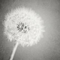 Dreamy Dandelion II  by Lisa Russo