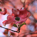Dreamy Dogwood by Lynn Hopwood