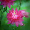 Dreamy Hot Pink Columbine Squared by Teresa Mucha