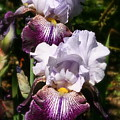 Dreamy Irises by Karen Fowler