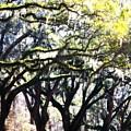 Dreamy Live Oaks by Carol Groenen