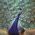 Dreamy Peacock Bird Art By Jai Johnson by Jai Johnson