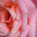 Dreamy Pink Rose by Teresa Mucha