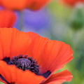 Dreamy Poppies by Tracy Munson