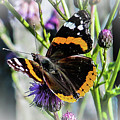 Dreamy Red Admiral Butterfly. by Nigel Dudson