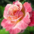 Dreamy Rose by Jeannie Burleson
