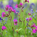 Dreamy Wildflowers by Clare Bambers