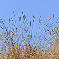 Dried Grass Blue Sky by Marv Vandehey