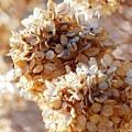 Dried Hydrangea Flowers  by Carol J Deltoro