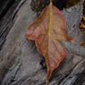 Dried Leaf On Log by Heather Kirk