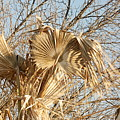 Dried Palm Fronds In The Wind by Katherine Nutt