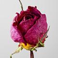 Dried Rose 4 by Robert Ullmann