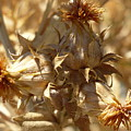 Dried Safflower by Carol Groenen
