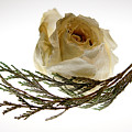 Dried White Rose by Lois Bryan