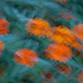 Drifting Daisies by Douglas Barnett