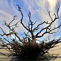 Driftwood And Roots Hunting Island Sc by Lisa Wooten