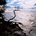 Driftwood Dragon-barnegat Bay by Steve Karol