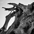 Driftwood I Sq Bw by David Gordon