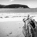 Driftwood On Beach Black And White by Tim Hester