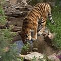 Drinking Tiger by Wendy Fox