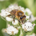 Drinking Up The Nectar, Apis Mellifera by Christy Cox