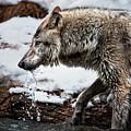 Drinking Wolf by Janet Ballard