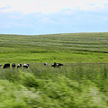 Driveby Shooting No.17 Cows by Christine Segalas