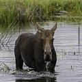 Drooling Cow Moose by Elizabeth Eldridge