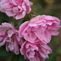 Droopy Pink Roses by Julie Kindt
