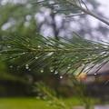Droplets On Pine Branch by Deborah Smolinske
