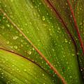 Droplets On Ti Leaves by Joe Carini - Printscapes