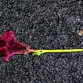 Dropped Flower by Robert Ullmann
