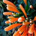 Drops Of Orange by Tina Ernspiker