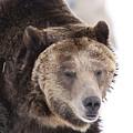Drowsy Bear by Mary Haber