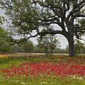 Drummonds Phlox Meadow Near Leming Texas by Tim Fitzharris