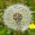 Dry Dandelion by Vineta Marinovic