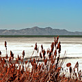 Dry Grasses At The Great Salt Lake by Leah Knight