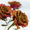 Dry Roses by Zbigniew Krol
