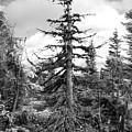 Dry Spruce by Irina Effa