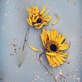 Dry Sunflowers On Blue by Jill Battaglia
