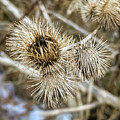 Dry Thistle Buds by Saurav Pandey