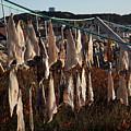 Drying Pieces Of Salt Cod In Bonavista, Nl, Canada by Karen Foley