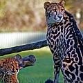 Dubbo Zoo Queen - King Cheetah And Cub by Miroslava Jurcik